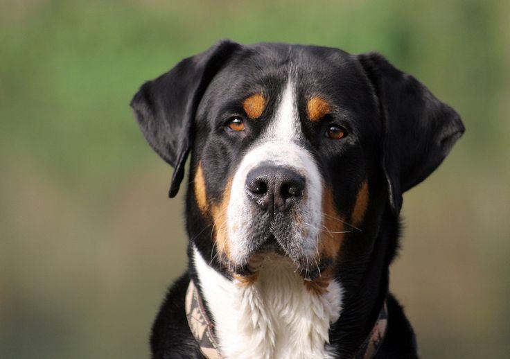 This website is about the Greater Swiss Mountain Dogs. You'll find a lot of informatie, links, photos etc.  Deze website gaat over het ras de Grote Zwitserse Sennenhond.  Je vindt hier veel informatie, links, foto's etc.