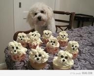 Awe Bichon cupcakes!