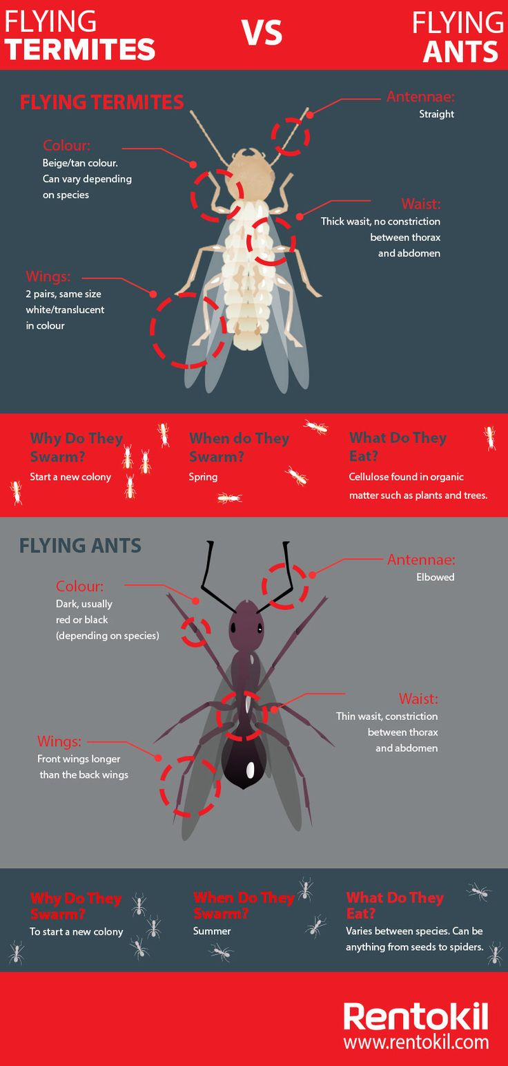 Flying Ants And Flying Termites Often Get Mistaken For One Another. Learn  The Difference Between