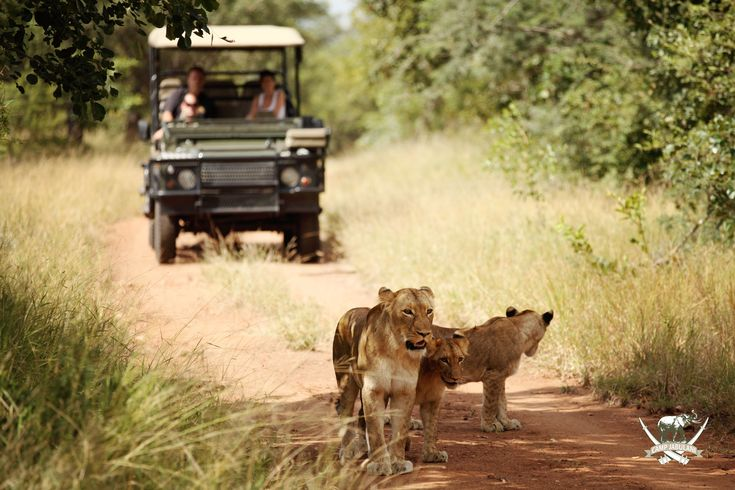 Head into the wilderness, and identify the call of a bird; follow the bark of a baboon or the roar of a lion in the company of professional rangers in open safari vehicles at Camp Jabulani.#Safari #GameDrive #CampJabulani #travel