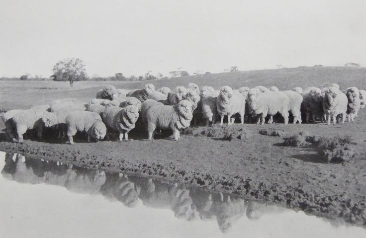 Hadden Rig Merino 2-Tooth Ewes for the special stud flock. Haddon Rig, New South Wales. The Property of Franc B. S. Falkiner, Esq. Originally a property of approximately 28,000 acres. Enlarged to 80,000 acres with the purchases of Merrimba Station, Wemabung Station and Bona Station in the early 1920s. Photo circa 1920. Uploaded courtesy of thecollectorsbag.com