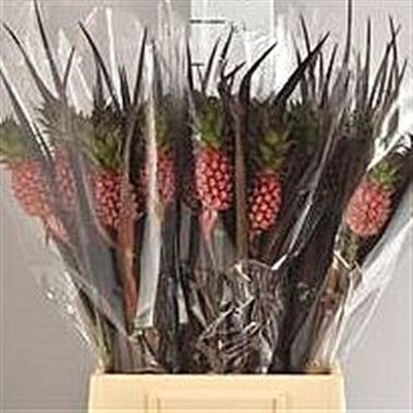 Ananas Perfeto Mini (Pineapple Flowers) 50cm is a Red Tropical - All tropical products prefer to be kept warm so never refrigerate whilst conditioning.