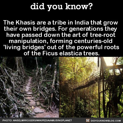 The Khasis are a tribe in India that grow  their own bridges. For generations they  have passed down the art of tree-root  manipulation,forming centuries-old  'living bridges' out of thepowerful roots of the Ficus elastica trees.  Source Source 2 Source 3   Photo:  anselmrogers-wiki cc/  amusingplanet        Photo: amusingplanet/ anselmrogers-wiki cc    Photo: amusingplanet