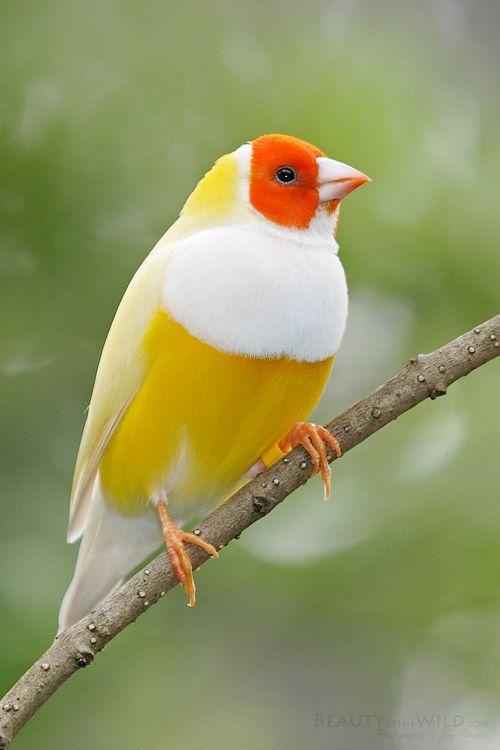 Diamant de Gould (Erythrura gouldiae) - #pájaros lindos #aves bonitos #cute birds #animales lindos #animales bonitos #cute animals