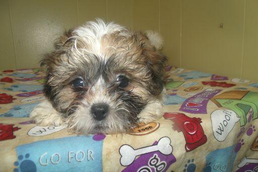 Zuchon puppy for sale in PATERSON, NJ. ADN-49210 on PuppyFinder.com Gender: Female. Age: 9 Weeks Old