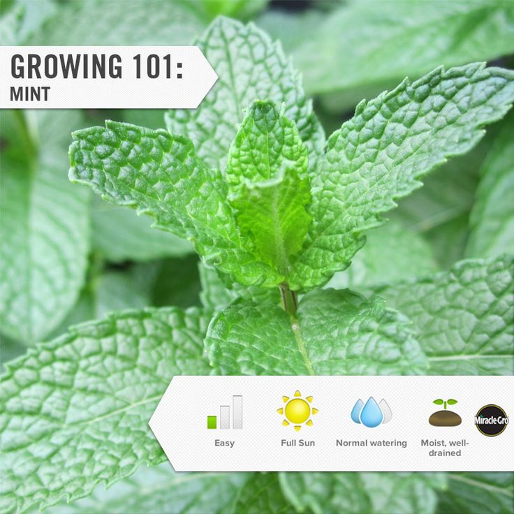 Fresh Mint makes a great add in for any summer cocktail. Here are step by step instructions to grow your perfect herb garden.