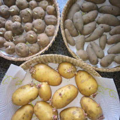 """Forspiring af kartofler går jeg i gang med allerede nu. Vores ekstra tidlige sort """"Rocket"""" har en lang spiretid og jeg håber at det milde vejr fortsætter, så jeg måske allerede kan lægge kartofler først i marts"""