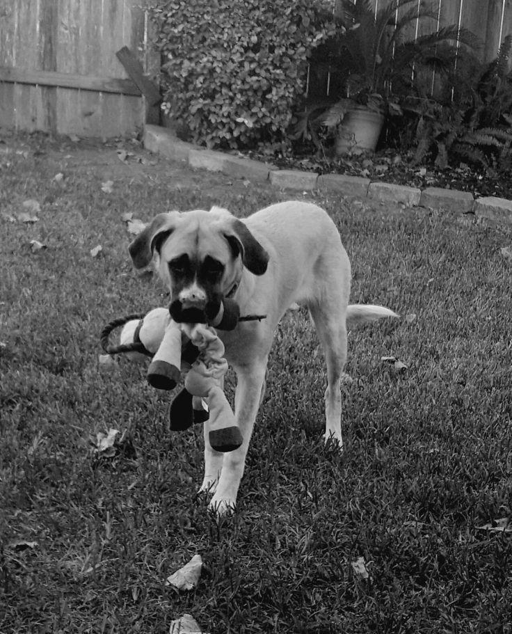 Pyrenean Mastiff. Ellie Jo. Texas Mastiff.