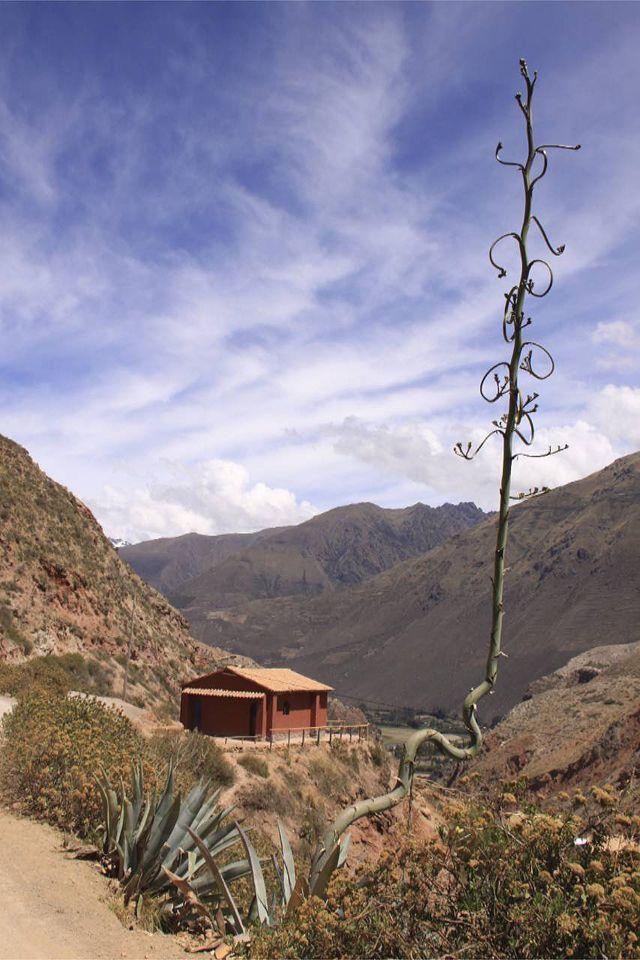 """Dr. Seuss cactus"" in the Sacred Valley, near Cusco Peru"