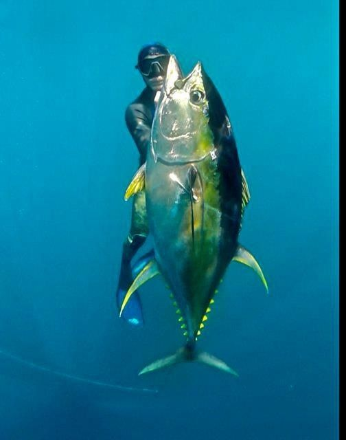 Free diving Yellowfin Tuna.