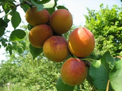 """""""APRICOT TREES produce some of the most versatile fruits. Eat the sweet golden globes right off the tree, make jam or dry them for future use. Proper watering, timely pruning and the thinning of immature fruit are great ways to insure maximum harvest from your tree and keep it healthy."""""""