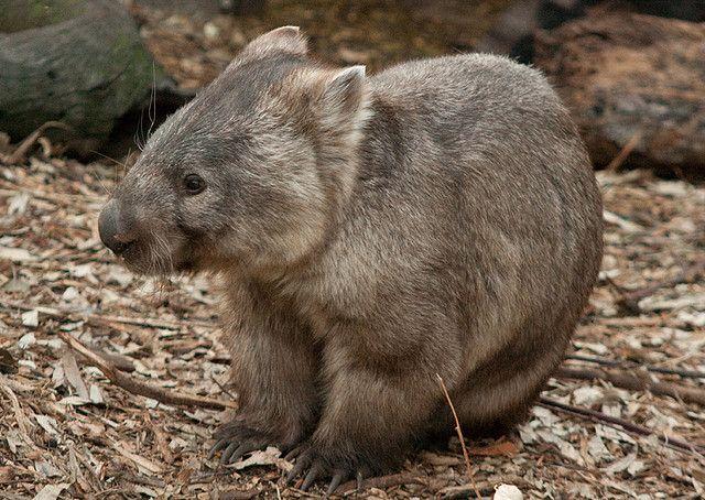 Wombat - I Love Wombats