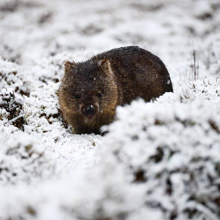 It seems winter has me back which isn't that big a problem if you are a wombat. Isaac Crebert spotted this little guy munching away on the Button Grass at Cradle Mountain https://instagram.com/p/BMchdCkAT5o/