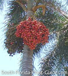 Clusters of red, fruit-containing seeds on a Foxtail Palm