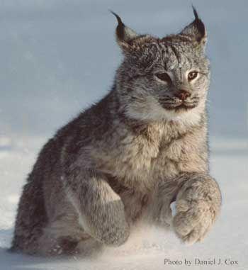 Order: CARNIVORA Family: FELIDAE Genus: FELIS Species: lynx (canadensis)