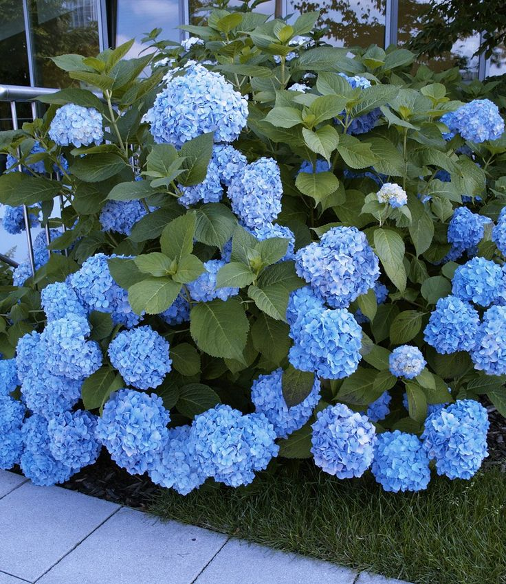best 25 hydrangea landscaping ideas on pinterest. Black Bedroom Furniture Sets. Home Design Ideas
