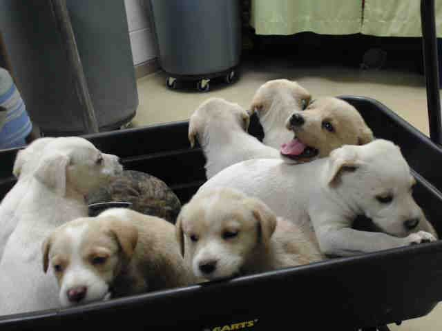 3/29/17 HELP! 03/23/17** SEE VIDEO!!** HOUSTON-EXTREMELY URGENT -Cute fluffy puppies! These lab mix pups are sweet as can be. Hurry down to the shelter to get one!! This DOG - ID#A480071 I am a female, black brindle and white Labrador Retriever mix. Harris County Public Health and Environmental Services. https://www.facebook.com/harriscountyanimalsheltervolunteers/videos/473916302732615/