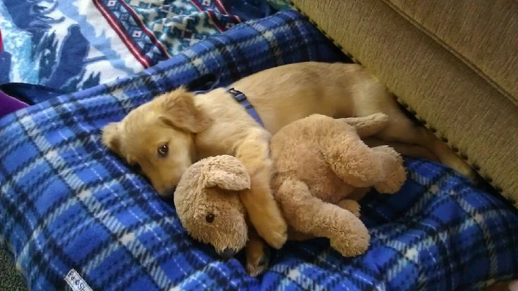 I ♥ You: Dogs Toys, Little Puppies, Adorable Puppies, Labrador Puppies, Cuddling Buddy, Naps Time, Sleep Baby, Stuffed Animal, Golden Retriever
