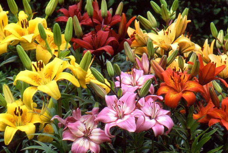 types of lilies plants