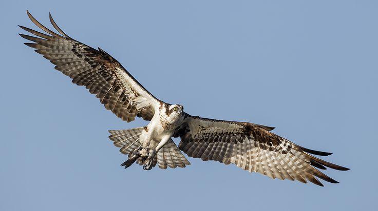 rybołów, Osprey