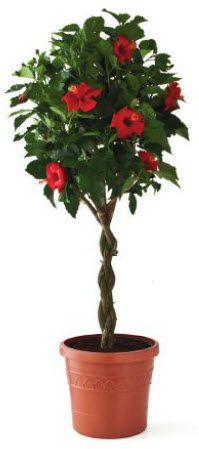 Braided Hibiscus tree - i am getting one of these tomorrow! :)