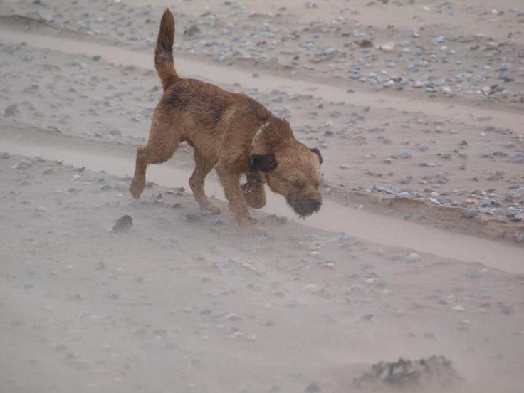 Border terrier Eddie defying the wind at the beach of Texel