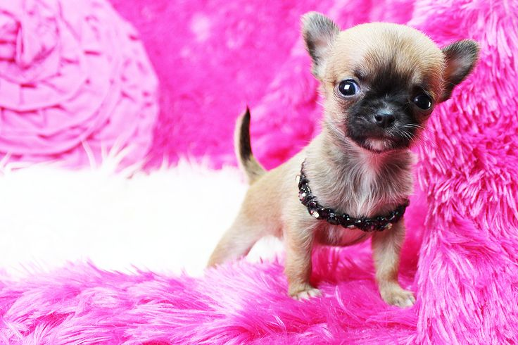 Sweetie Pie Pets is a family Chihuahua breeder near Los Angeles. All our babies are hand raised and spoiled rotten. They eat only the best foods and live in the lap of luxury. www.SweetiePiePets.com