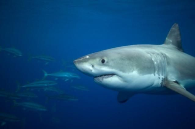 Types of Sharks: White Shark (Carcharodon carcharias)