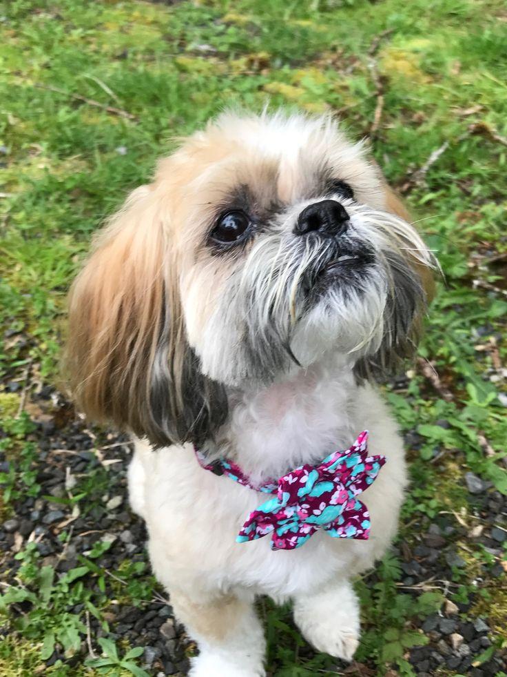 Adopt maddie on with images puppy adoption shih tzu