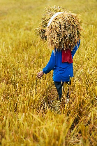 harvesting paddy(s)