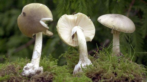 Essbare Pilze Sammeln Und Erkennen In 2020 Essbare Pilze Pilze Sammeln Pilze