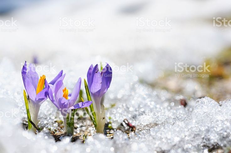 Purple Crocus growing in the early spring through snow royalty-free stock photo