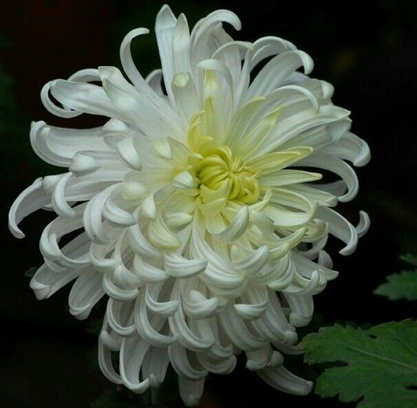 Pin By Mona Moni On Krizantema Lule Shen Mitri Chrysanthemum Flower Flowers Nature Beautiful Flowers