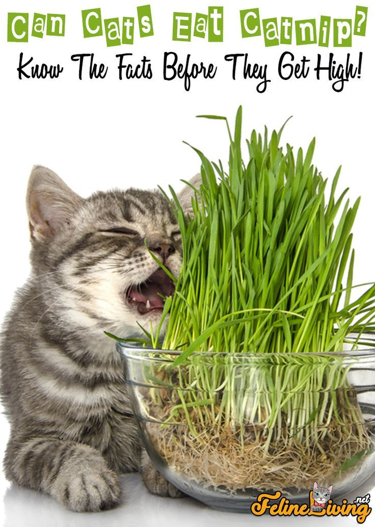 Cats Love The Smell Of Catnip But Is It Ok For Them To Eat It That Is What We Are Going To Answer In This Article What Cats Can Eat Cats