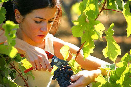 sběr vína