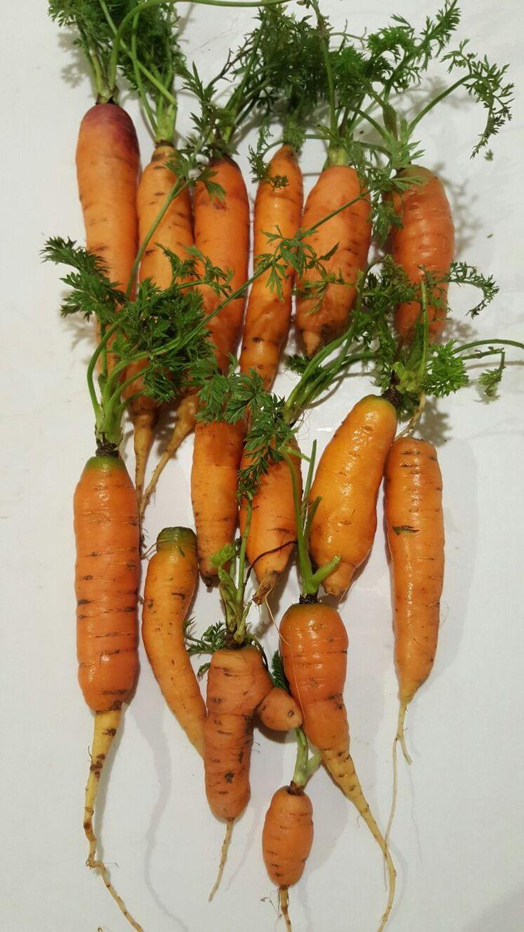 Zanahorias recién cogidas de la huerta que el #Restaurante Aitzgorri dispone en #Zarautz.