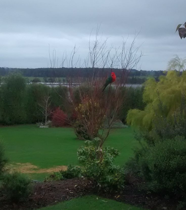 King Parrot sitting on Maple -  One of many bird varieties now frequenting our garden
