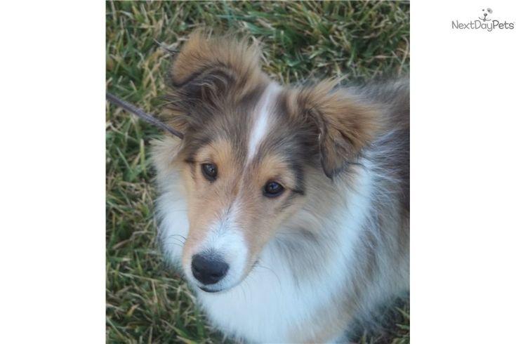 Shetland Sheepdog Sheltie | ... Shetland Sheepdog - Sheltie puppy for sale for $850. Sheltie Puppy For