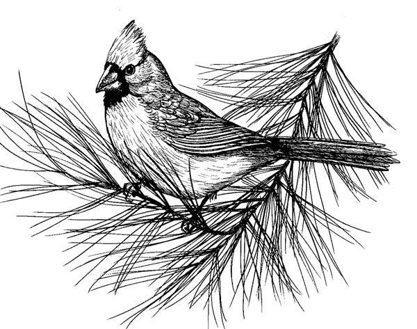 Cardinal Sketch - WetCanvas