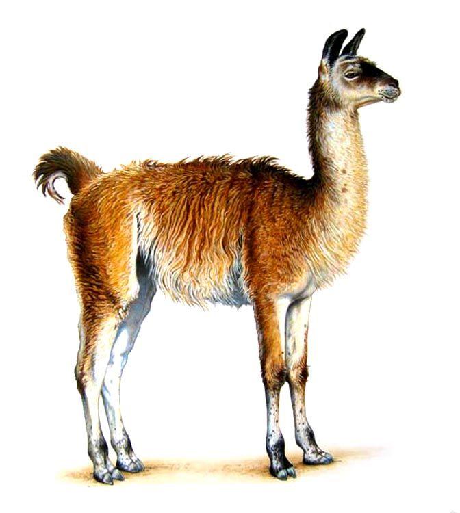 Llama Illustration | Lhama | Pinterest | Illustrations ...