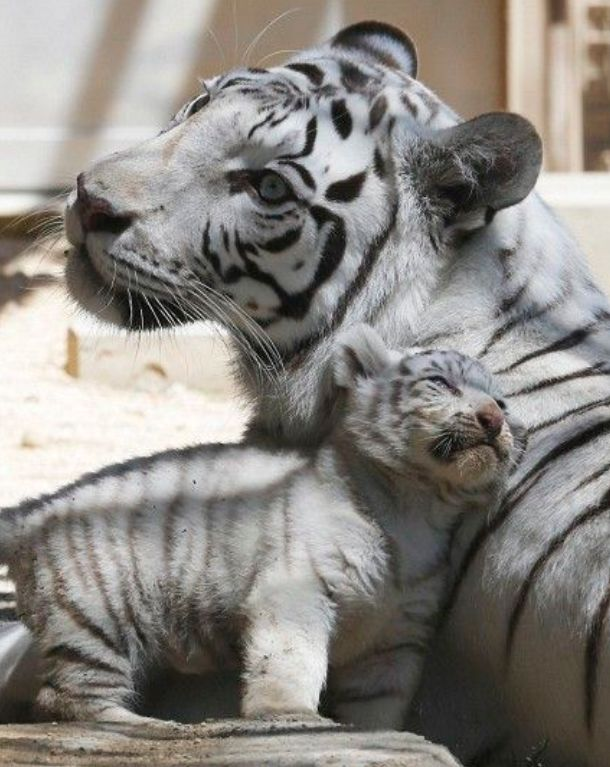 White Tiger Mother With Her Cub Smudging