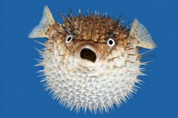 This is a Bloated Puffer Fish. You can read some fun facts about the bloated puffer fish here: http://easyscienceforkids.com/all-about-poisonous-fish/