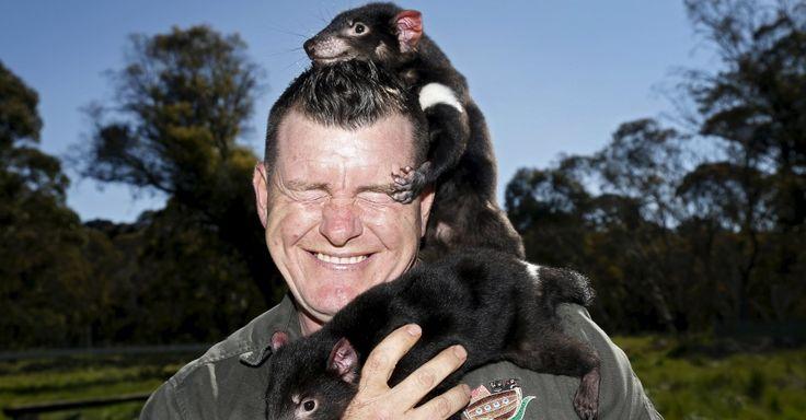 """19.nov.2015 - O gerente da """"Arca do Diabo"""", Dean Reid, sorri enquanto se diverte com os diabos-da-tasmânia """"escalando"""" o seu rosto."""
