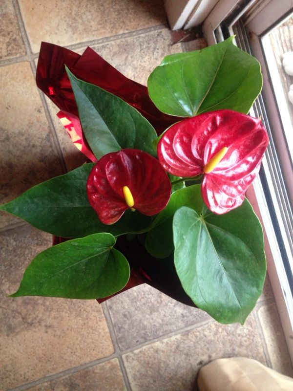 Anthuriumflamingo Flower Anthurium Hybrid Your Lovely Plant Is An Anthurium Endemic To The Tropics The Waxy Red Orange Pi Plants House Plants Anthurium