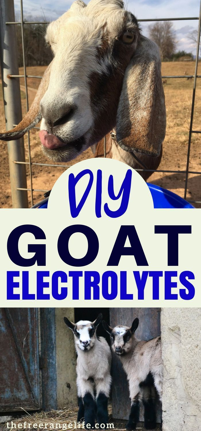 Make your own electrolytes for your goats! Raising Goats | Homesteading DIY | Livestock | Goat Health