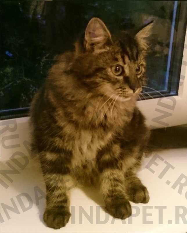 Фотография животного: Найдена Кошка Метис самец Санкт-Петербург