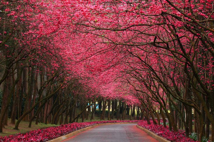 early spring pink flowering trees | wallpaper pink flowering trees categories flowers downloads 15282 ...