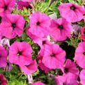Petunias are tolerant of heat so you don't have to water them regularly. A thorough watering once a week should be sufficient (unless there are prolonged periods of drought in your area). The spreading types and those in containers require more frequent watering though. Fertilize your plants monthly to ensure good growth. Double-flowered cultivars like a biweekly dose of fertilizer. Remove faded/dead flowers to prolong blooming.
