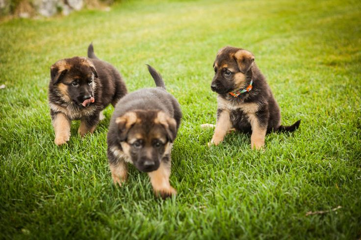 AKC Registered. Parents are great with kids, healthy and athletic, with beautiful markings and conformation.  Excellent and notable pedigrees from eastern Europe and Germany -- many Schutzhund champs in the lines including World Champion 2X VA1 Rikkor von Bad Boll.  $800 limited registration, first shots, de-worming.  Dam: Vibeke Faarborg von Bad Boll Parents: Axel Von Bad Boll and Hedi Voegeli SIre: Sir Odin von dem Felsengebirge Parents: Cash Vom Wizards Hof and Pilar vom Luttersbruch…