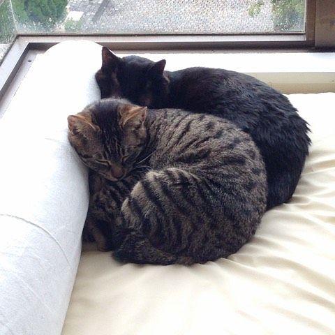 . 再、枕にされるおにたん。  猫って鼻が敏感で、猫のトイレにカバーをつけるのは拷問みたいな物で、用がなければトイレにも臭いから近寄らないって記事どっかで読んだのですが、ここって猫トイレカバーの上なんですよね。  ふっ、言う程じゃねーわな。 . #猫#CAT#ティアとメイ#先住猫と子猫#しましま#黒猫#catstagram #instacat#catloversgura199711302016/02/29 17:15:47